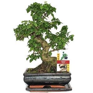 Bonsai chinesischer Liguster - Ligustrum sinensis - ca. 8 Jahre